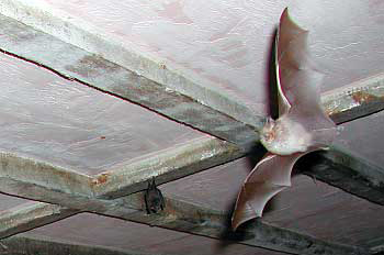Horseshoes bats in Mill House